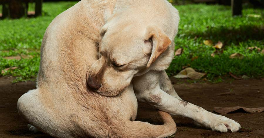 The Best (and Safest) Flea Treatment for Dogs